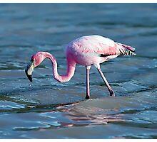 Hunting flamingo Photographic Print