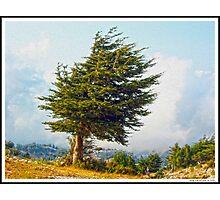 Lonely Cedar Photographic Print