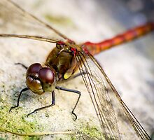 Red Dragonfly Macro Shot by ajwimages