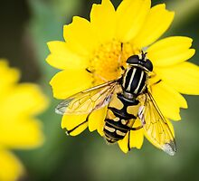 Hoverfly Macro Shot by ajwimages