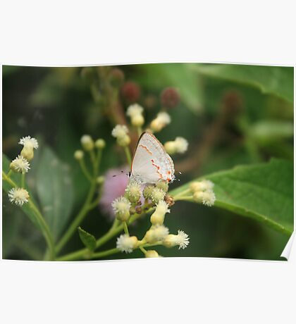 Small Gray Butterfly Poster