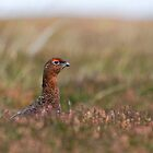 Red Grouse by Richard Greenwood