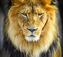 Male Lion with Intimidating Stare by Photopa