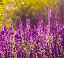 Purple Flowers by Photopa