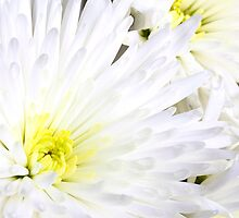 White chrysanthemum by sc-images