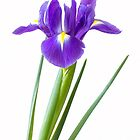 Single purple iris flower by sc-images