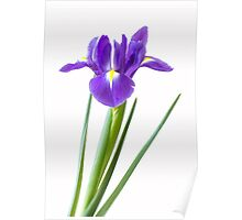 Single purple iris flower Poster