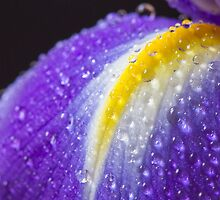Close up image of purple iris by sc-images