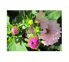 When the dahlias promise to show up ... Art Print