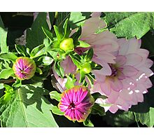 When the dahlias promise to show up ... Photographic Print