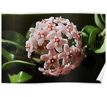 Hoya Compacta - Waxplant - Porzellanblume II Poster