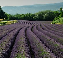 Fields of Lavender  by Nigel  Dean