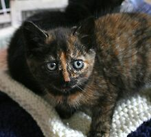 Tortie Kitten by GreyFeatherPhot