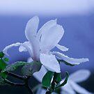 Blue magnolia by mooksool