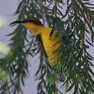 Sun Bird (Female) by triciaoshea