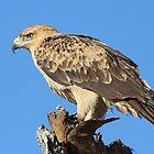 A Tawny Eagle by jozi1