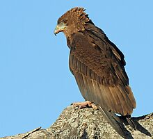 An Immature Bateleur Eagle by jozi1