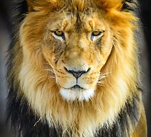 Lion with Intimidating Stare by Photopa