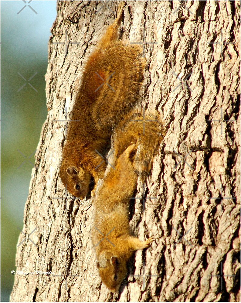 WHAT SQUIRRELS WILL DO ! THE TREE SQUIRREL- Paraaxerus cepapi  by Magriet Meintjes