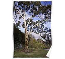 Tree at Lake Burley Griffin Poster