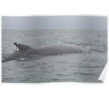 Humpback Whale on the Surface Poster