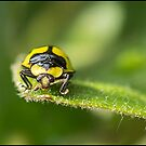 Yellow Ladybird Beetle by Helenvandy