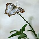 White Peacock Beauty by Mikell Herrick