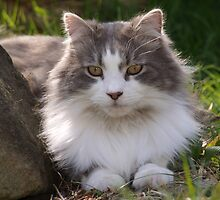 Grey and White Persian Cat by Stardustsprinkl