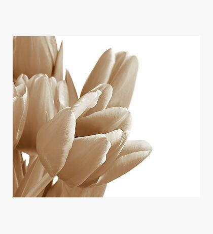 Tulips on a white background Photographic Print
