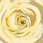 Single cream rose by sc-images