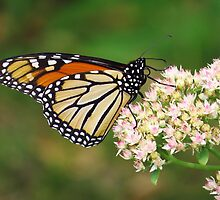 Monarch Butterfly Profile by lorilee