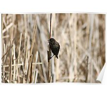 Female Red Winged Blackbird on Marsh Reeds Poster