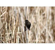 Female Red Winged Blackbird on Marsh Reeds Photographic Print