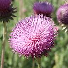 Musk Thistle Fully Blossomed ~ Carduus nutans by Jan  Tribe