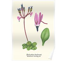 Henderson's shooting star- wildflower Poster