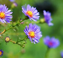 Autumn Asters by Linda  Makiej