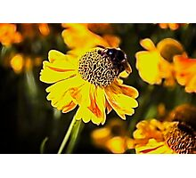 Bee on a flower Photographic Print