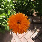 Orange Pot Marigold - Heligan by BlueMoonRose