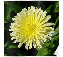Pale Yellow Mary Bud Marigold With Garden Background Poster