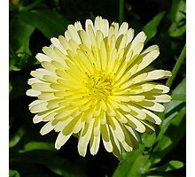 Pale Yellow Mary Bud Marigold With Garden Background Photographic Print