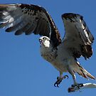 Osprey with its Catch by cathywillett
