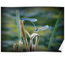 Familiar Bluet Damselfly Pair Poster