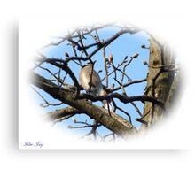 Blue Jay (10) Canvas Print