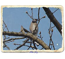 Blue Jay (11) Photographic Print