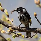 New Holland Honeyeater with Lunch for the new borns by Kym Bradley