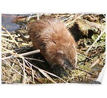 Muskrat Crossing a Marsh Poster