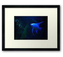 Platinum Angelfish (XL Poster) Framed Print