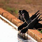 Thirsty Black Black Cockatoos @ Derby WA by Mark Ingram Photography