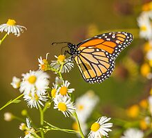 Late Monarch by Thomas Young