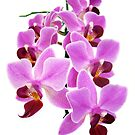 Pink Orchid I by artddicted